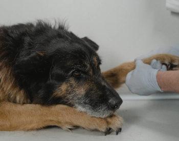 Chiens et Chats: des animaux sujets aux troubles métaboliques