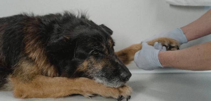 troubles métaboliques chien
