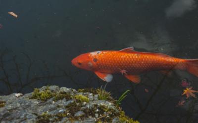 Les différents types de poissons d'eau douce