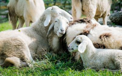 Qu'est ce que la gale du mouton ?