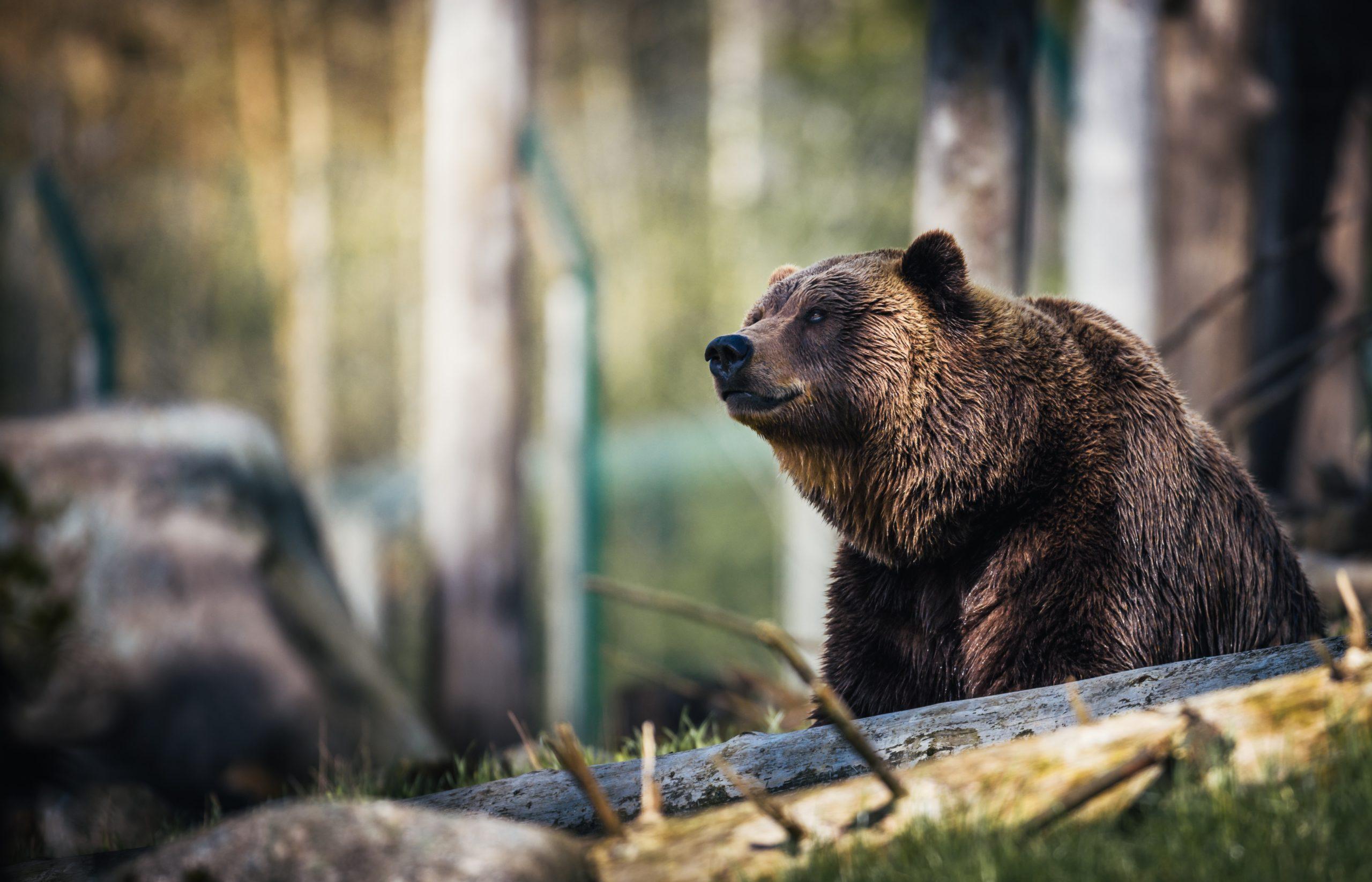 Les nourritures les plus courantes d'un ours