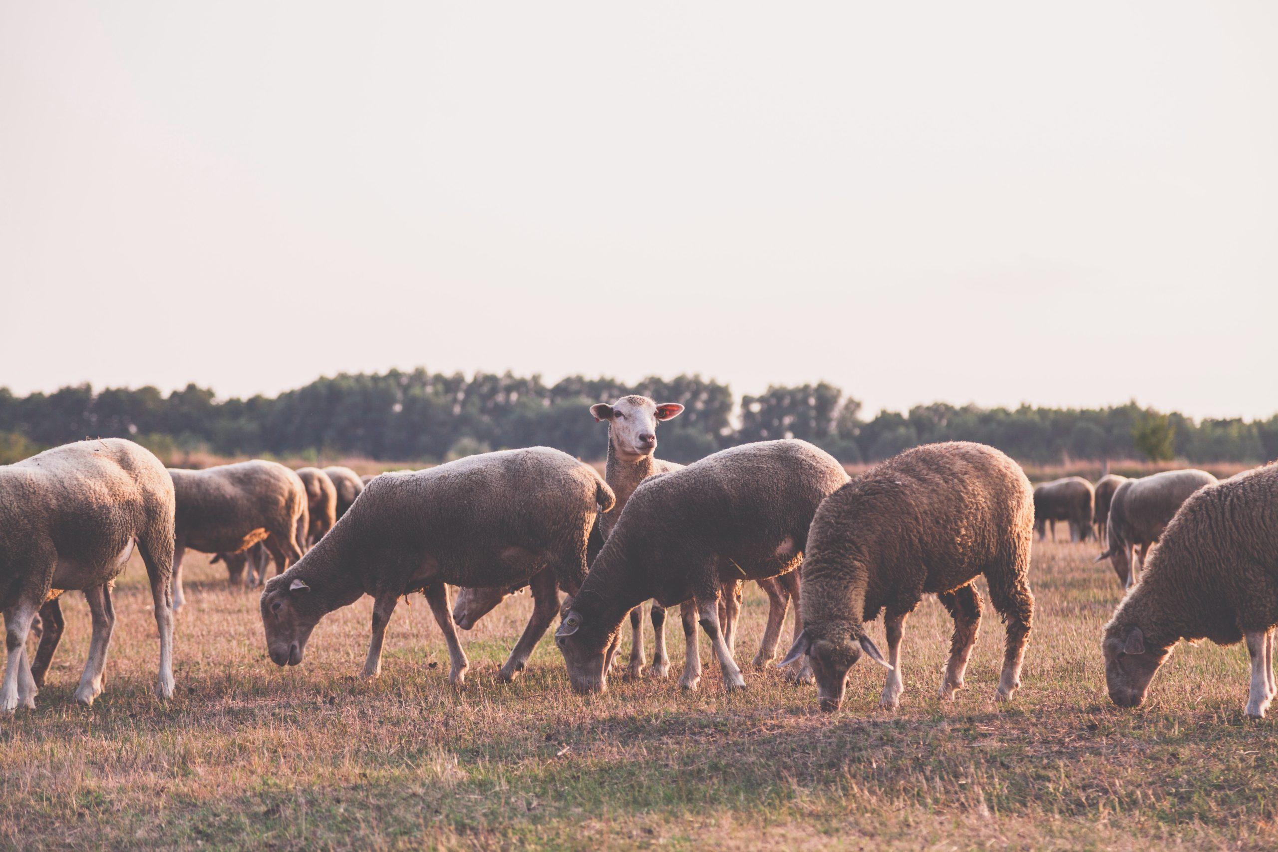 Quand tondre les moutons?